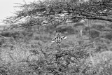 Awesome South Africa Collection B&W - Portrait of Giraffe Peering through Tree