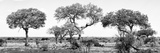 Awesome South Africa Collection Panoramic - Acacia Trees on Savannah B&W