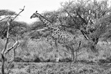 Awesome South Africa Collection B&W - Giraffe in the Savanna I