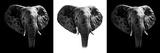 Safari Profile Collection - Elephants III