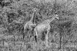 Awesome South Africa Collection B&W - Two Giraffes in the Savanna II