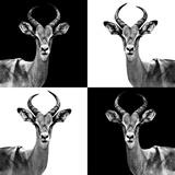 Safari Profile Collection - Antelopes II