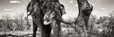 Awesome South Africa Collection Panoramic - Portrait of African Elephant in Savannah III B&W