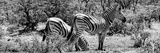 Awesome South Africa Collection Panoramic - Zebras Africa B&W