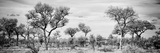 Awesome South Africa Collection Panoramic - Savanna Landscape B&W