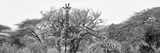 Awesome South Africa Collection Panoramic - Giraffes in Savannah B&W