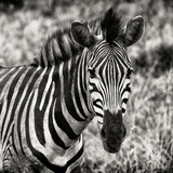 Awesome South Africa Collection Square - Burchell's Zebra Portrait II Sepia