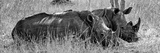 Awesome South Africa Collection Panoramic - Two White Rhinos III