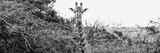 Awesome South Africa Collection Panoramic - Curious Giraffe B&W