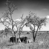 Awesome South Africa Collection Square - Two Rhino sleeping in the Savanna B&W