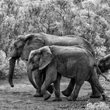 Awesome South Africa Collection Square - Elephant Family B&W