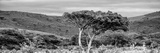 Awesome South Africa Collection Panoramic - Lone Acacia Tree B&W