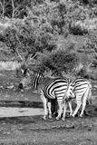 Awesome South Africa Collection B&W - Two Burchell's Zebras IV