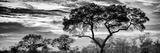 Awesome South Africa Collection Panoramic - Tree Silhouetted at Sunset B&W