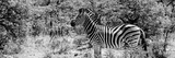 Awesome South Africa Collection Panoramic - Zebra Profile B&W