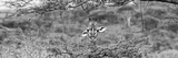 Awesome South Africa Collection Panoramic - Portrait of Giraffe Peering through Tree B&W