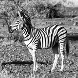 Awesome South Africa Collection Square - Burchell's Zebra Profile B&W