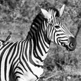 Awesome South Africa Collection Square - Close-Up of Burchell's Zebra with Oxpecker B&W
