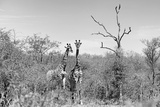 Awesome South Africa Collection B&W - Two Giraffes in the African Savannah