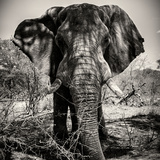 Awesome South Africa Collection Square - Portrait of African Elephant Sepia