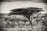 Awesome South Africa Collection B&W - Acacia Trees I