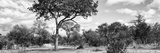 Awesome South Africa Collection Panoramic - Savannah Landscape B&W