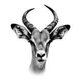 Safari Profile Collection - Antelope Portrait White Edition III