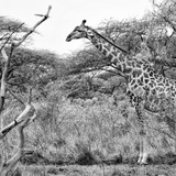 Awesome South Africa Collection Square - Giraffe Profile in Savannah B&W