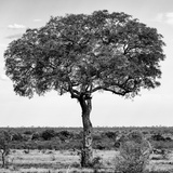 Awesome South Africa Collection Square - Acacia Tree B&W