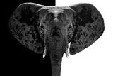 Safari Profile Collection - Elephant B&W