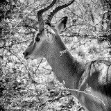 Awesome South Africa Collection Square - Impala Portrait B&W