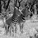 Awesome South Africa Collection Square - Two Burchell's Zebras B&W