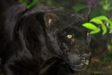 Black Jaguar, Belize City, Belize, Central America