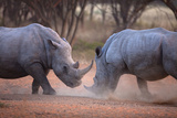 Africa, Namibia. White Rhinos Fighting