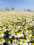 Chamomile Field, Hortobagy National Park in Spring. Hungary
