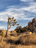 USA, California, Joshua Tree National Park. Joshua Trees in Mojave Desert