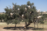 Morocco, Road to Essaouira, Goats Climbing in Argan Trees