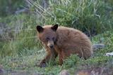 Black Bear (Ursus Americanus), Cinnamon Yearling Cub, Yellowstone National Park, Wyoming, U.S.A.