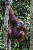 Young Male Bornean Orangutan (Pongo Pygmaeus), Malaysia