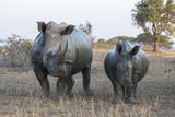 White Rhino (Ceratotherium Simum) with Calf, Hluhluwe-Imfolozi Game Reserve, Kwazulu-Natal, Africa