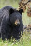Black Bear (Ursus Americanus), Yellowstone National Park, Wyoming, United States of America