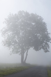 Country Road, Broad-Leaved Tree, Fog, Morning