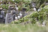 Iceland, Grimsey, Rock, Atlantic Puffin, Fratercula Arctica