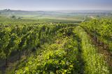 Vineyards Between Baden Bei Wien and Gumpoldskirchen, Vienna Basin, Lower Austria, Austria