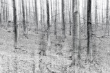Bare Beech Forest in Winter, Abstract Study, Colour and Contrast Digitally Enhanced