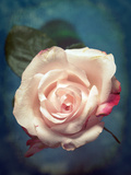 Close-Up of a Pale Pink Rose