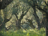 Greece, Olive Grove, Olive Trees, Old