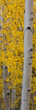 Quaking Aspen (Populus Tremuloides) Tree, Boulder Mountain, Dixie National Forest, Utah, USA