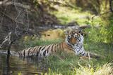 Bengal Tiger, Ranthambhore National Park, Rajasthan, India, Asia