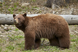 Cinnamon Black Bear (Ursus Americanus), Yellowstone National Park, Wyoming